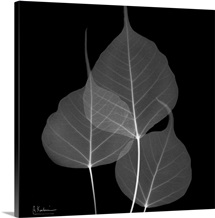 Bo Tree Leaf X-Ray Photograph