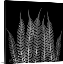 Fern Leaf X-Ray Photograph