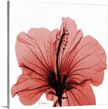 Hibiscus x-ray photography