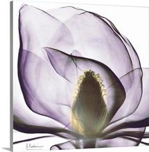 Magnolia x-ray photography