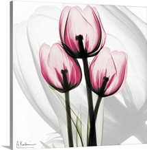 Pink Tulips x-ray photography