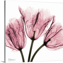 Tulips Laugh II x-ray photography