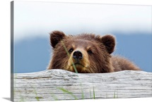 A brown bear cub rests its head on a log