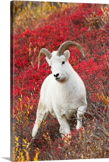 A Dall sheep ram stands in colorful Autumn bushes in Denali National Park, Alaska