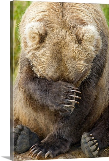 A female Brown bear puts her paw over her in Katmai Park, Southwest Alaska