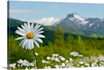 A group of daisies grow in the meadows of Turnagain Pass in Chugach National Fores