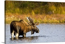 A large bull moose wades through a permafrost pond in Denali National Park