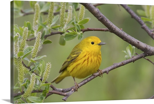 A male Yellow Warbler perched in a willow, Copper River Delta, Southcentral Alaska