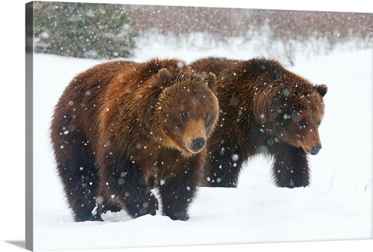 A pair of adult Brown bears walk through falling snow, Southcentral Alaska