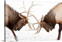 A pair of large Rocky Mountain elk lock antlers and fight