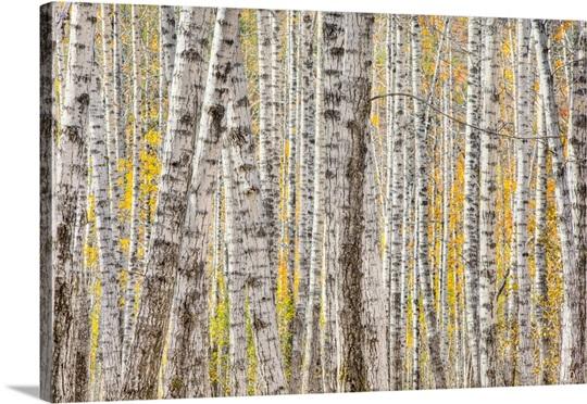 A poplar Tree forest creates a pattern, Kantishna, Denali Park, Interior Alaska