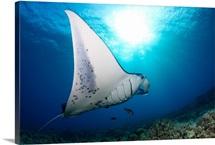 A reef manta ray, cruises over hard coral off West Maui, Hawaii