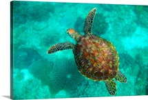 A Sea Turtle Swims Underwater; Apo Island, Negros Oriental, Philippines