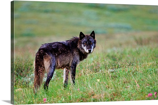 Adult wolf stands alert on tundra in Denali National Park, Alaska