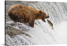 An adult brown bear opens its mouth wide to catch a sockeye salmon