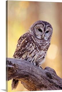 Barred Owl (Strix Varia) Perched On A Cottonwood Tree Branch