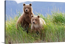 Bear cubs standing on a riverbank at Hallo Bay, Katmai National park, Alaska