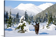 Black wolf in snow covered meadow in Alaskas Tongass Forest near Coast Mountains