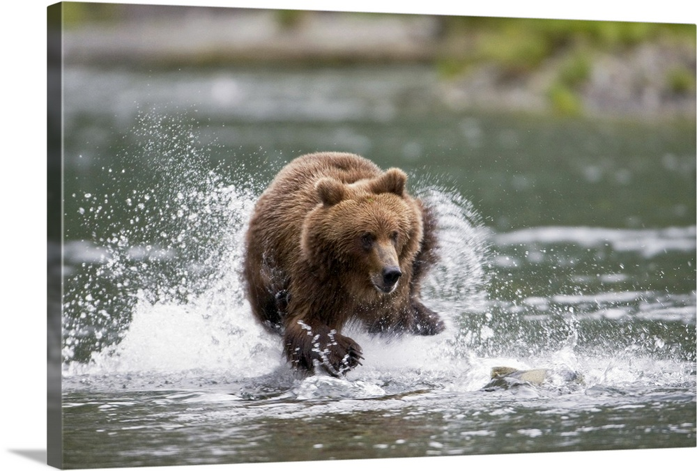 Brown bear chases salmon in a shallow stream Prince William Sound