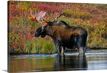 Bull moose wades in a small beaver pond during Autumn Denali National Park