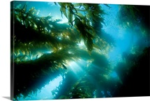 California, Catalina Island, Sunlight Streaming Through A Forest Of Giant Kelp