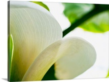 Calla Lily, Extreme Close-Up Of Large White Petal, View From Below