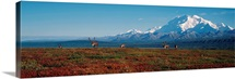 Caribou On Tundra With Mt McKinley, Denali National Park, Interior, Alaska
