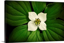 Close up Dwarf Dogwood flower in full bloom, Alaska