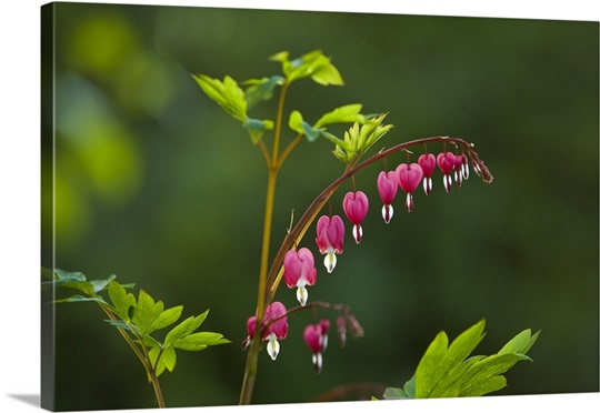 Close up of Bleeding Heart blooms in Alaska during Summer