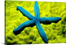 Close-Up Of Blue Starfish On Poritirs Coral (Linckia Laevigata)
