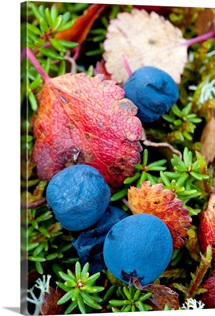Close up of blueberries amongst fall tundra plants and leaves along the Denali Highway