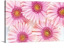 Close-Up Of Pink Daisies