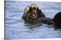 Close up of Sea Otter Resurrection Bay KP AK Summer near Seward