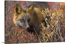 Close up portrait of a cross fox peering through blueberry and willow shrubs