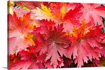 Closeup detail of autumn foliage Kodiak Island Southwest Alaska