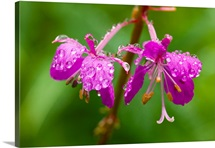 Closeup of Fireweed blooms after rainshower Chilkat Valley Southeast Alaska Summer