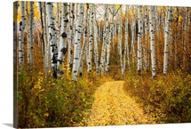 Colorado, Yellow Aspen Leaves On Country Road