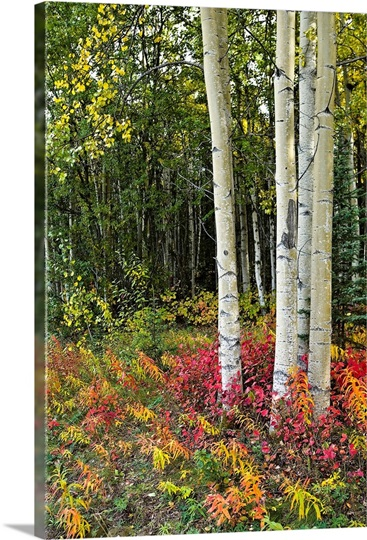 Colorful view of Aspen tree trunks and Fall foliage, Kenai Peninsula in Southcentral