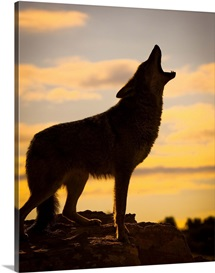 Coyote howling at sunset, Triple D Ranch, California, United States of America