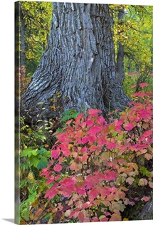 Cranberry Bush and Cottonwood tree along Crow Pass Trail Eagle River Valley