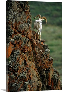 Dall Sheep Rams Perched On Rock Ledge, Denali National Park, Alaska