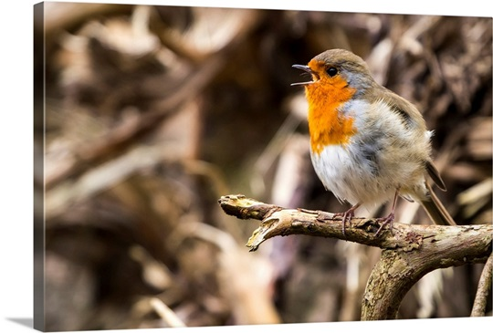 European robin singing