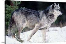 Female captive gray wolf winter portrait