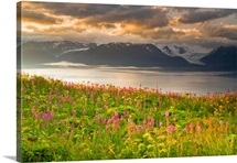Field of Fireweed on hill overlooking Kachemak Bay and Grewingk Glacier near Homer