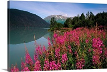 Fireweed Along Shore of Kenai Lake Summer KP Alaska