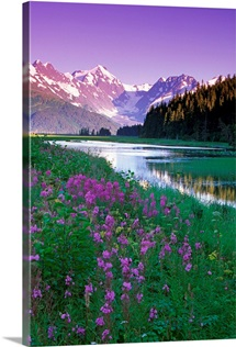 Fireweed in Bloom Along Pond w/Chugach Mtns SC AK Summer