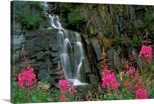 Fireweed in Bloom near Waterfall Turnagain Pass AK KP Summer