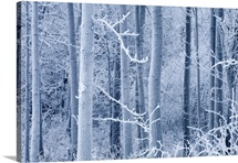 Frost coated birch forest near Knik River Mat-Su Valley Southcentral Alaska Winter