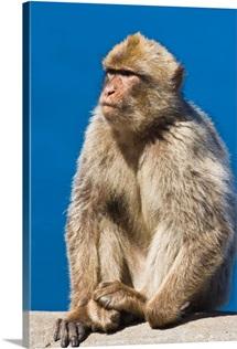 Gibraltar Barbary Macaque (Macaca Sylvanus)