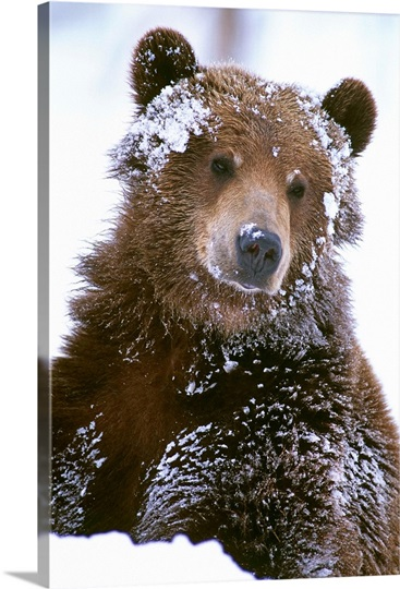 Grizzly Bear Standing With Face Covered In Snow Photo